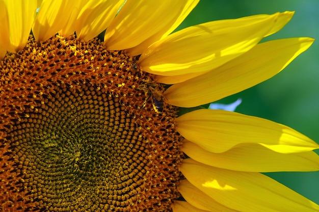 O girassol no campo sob o sol de verão