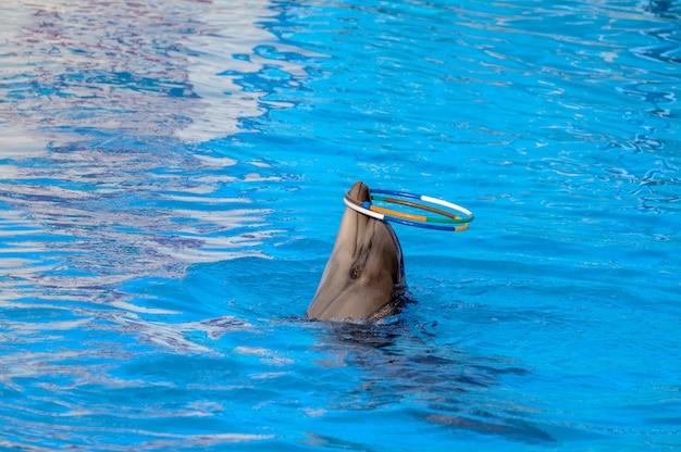 O golfinho toca anéis. o golfinho gira aros no nariz.