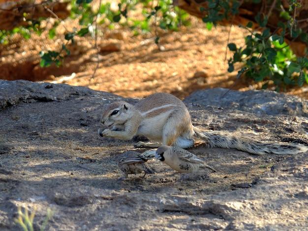 O gopher no deserto do namibe, sossusvlei, namíbia