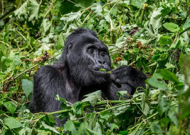 O gorila da montanha está comendo plantas. uganda. parque nacional da floresta impenetrável de bwindi.