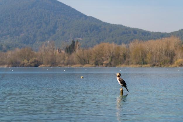 O grande cormorão (phalacrocorax carbo) no lago banyoles, catalunha, espanha