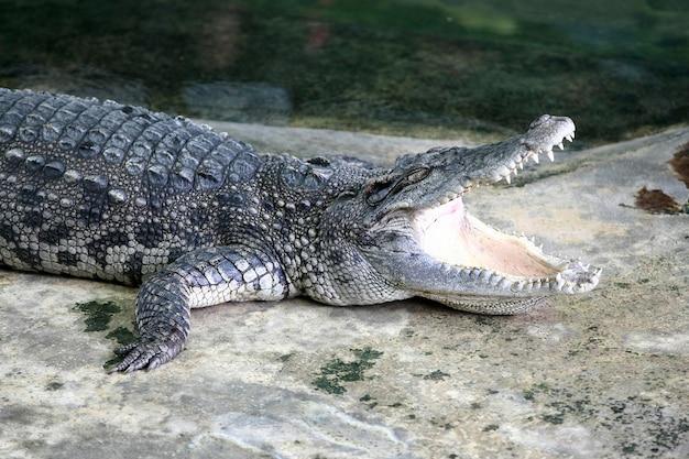 O grande crocodilo da fazenda