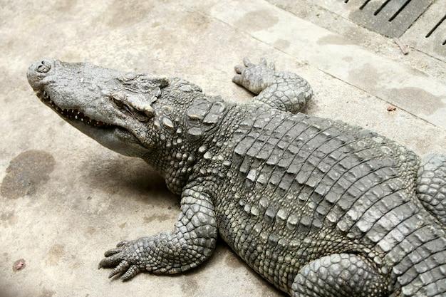 O grande crocodilo na fazenda
