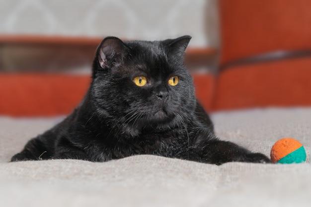 O grande gato preto britânico repousa imponente e preguiçosamente no sofá em casa.