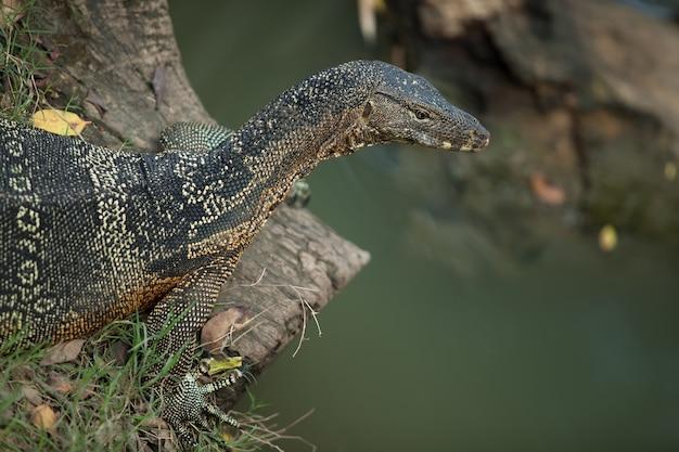 O grande lagarto-monitor encontra-se em uma grama. perto da água