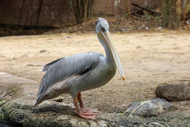 O grande pássaro pelicano branco no jardim