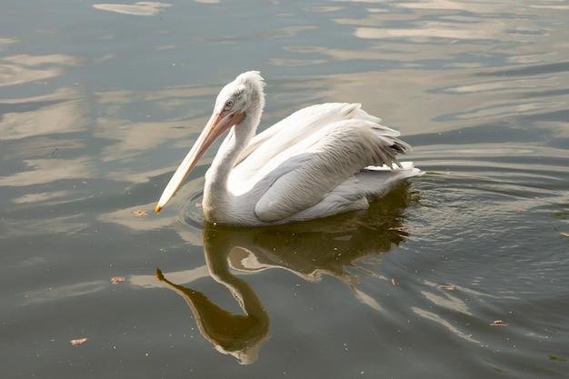 O grande pelicano branco ou branco oriental, pelicano rosado ou pelicano branco é uma ave da família dos pelicanos. reproduz-se do sudeste da europa, passando pela ásia e na áfrica, em pântanos e lagos rasos.