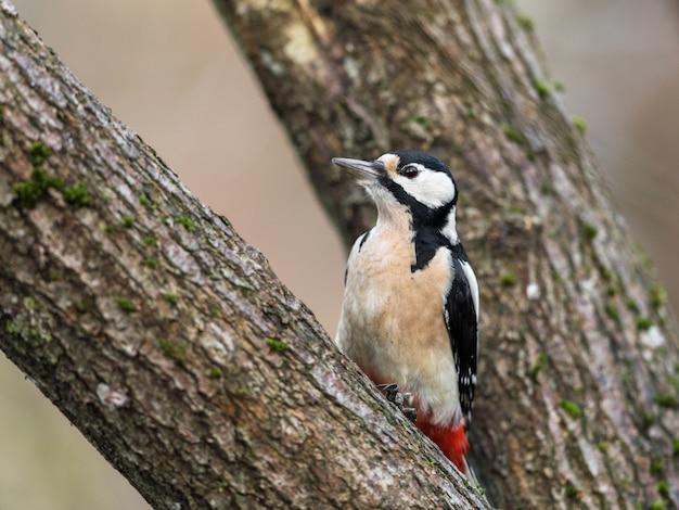 O grande pica-pau-malhado, dendrocopos major, fêmea pássaro sentado em uma árvore