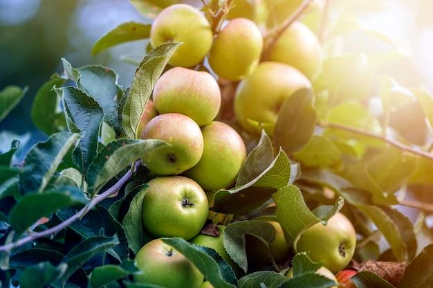 O grupo do close-up de maçãs verdes bonitas com gotas de orvalho que penduram amadurecendo no ramo de árvore da maçã com folhas verdes iluminou-se pelo sol brilhante do verão. conceito de agricultura.