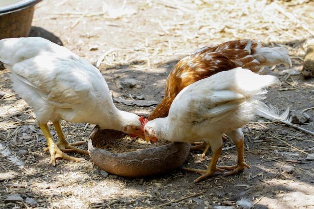 O grupo rhode island red está comendo comida no jardim da fazenda na tailândia