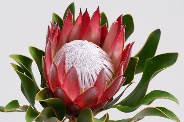 O grupo vermelho da flor do protea em um branco isolou o fundo com trajeto de grampeamento. fechar-se. para de