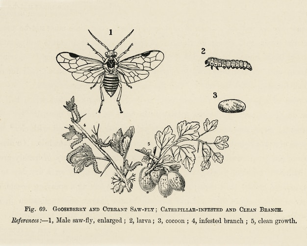 O guia do cultivador de frutas: ilustração vintage de branoh infestado de lagarta, limpo, groselha