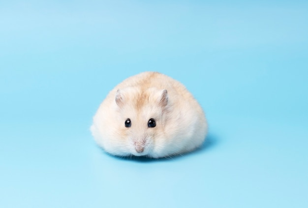 O hamster anão fofo encontra-se em vista frontal.