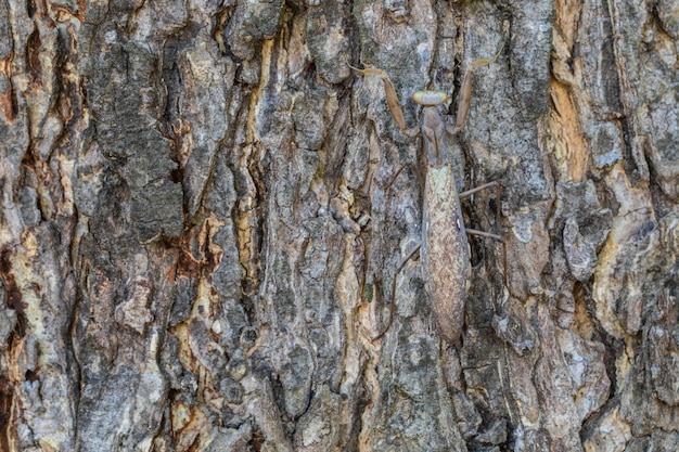 O hide gafanhoto marrom grávido está na árvore de casca.
