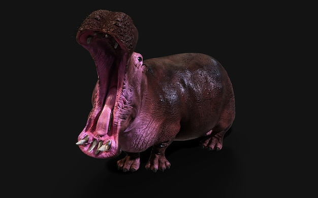 O hipopótamo comum (hippopotamus amphibius) posando isolado em um fundo escuro com trajeto de grampeamento.