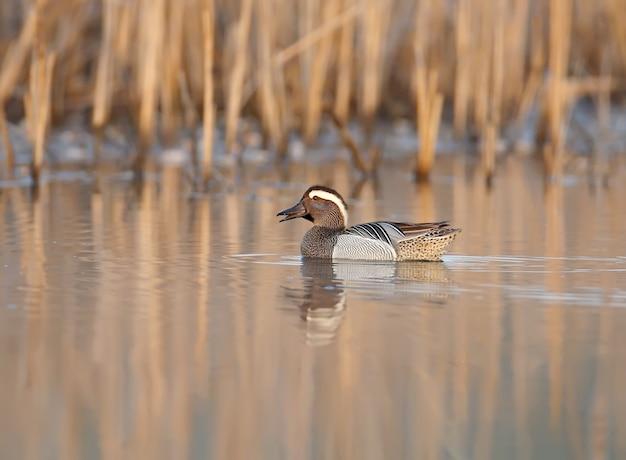 O homem adulto, um garganey, flutua em águas paradas com o reflexo na luz suave da manhã