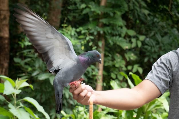 O homem alimentando um pombo da mão dela