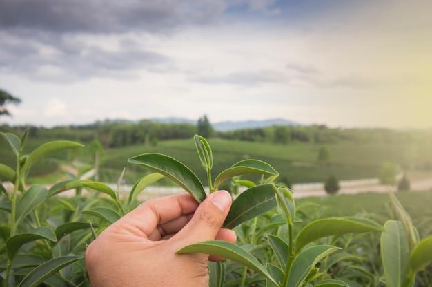 O homem asiático colhe folhas de chá frescas na fazenda, agitando as mãos com um homem em uma plantação de chá na tailândia.