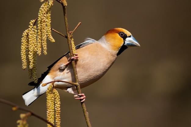 O homem do hawfinch empoleirou-se em um ramo na natureza da mola.