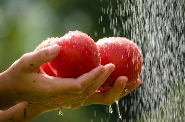 O homem dos tomates lava no jardim.