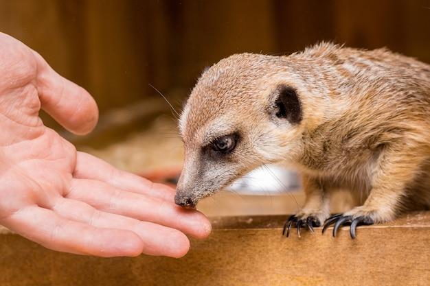 O homem estende a mão para o suricato. confiança entre pessoas e animais_