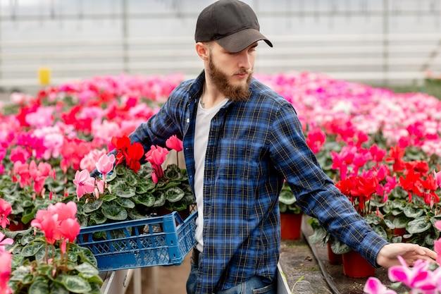 O homem novo no tampão na estufa escolhe a planta do cíclame para o florista. flora e jardinagem. trabalhando com flores e plantas