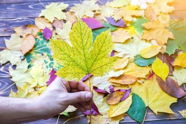 O homem segura a folha de outono real na mão. foto colorida sazonal. cores amarelas e verdes com textura. cartão postal de novembro. natureza bela.