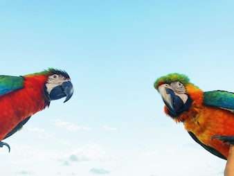 O homem segura dois papagaios coloridos de macaw no braço