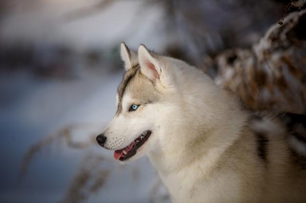 O husky siberiano de olhos azuis feliz se alegra em uma caminhada na neve.