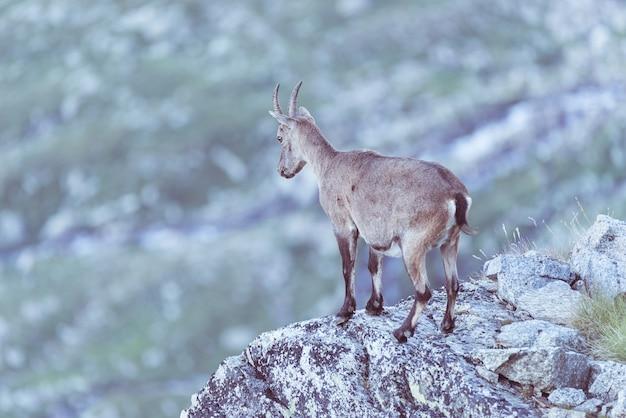 O íbex fêmea empoleirou-se na rocha nos cumes franceses italianos.