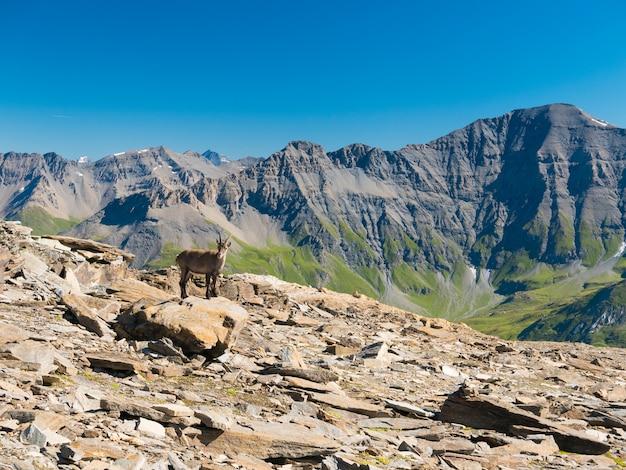 O íbex fêmea empoleirou-se na rocha que olha a câmera com os alpes franceses italianos