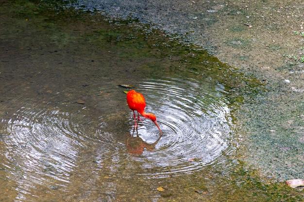 O íbis vermelho se alimenta ao longo da costa. malásia