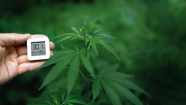 O indicador de umidade é indicado no higrômetro do aparelho na mão contra o fundo de um arbusto de cannabis medicinal ou maconha