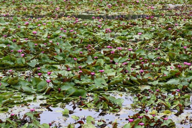 O jardim de lótus vermelho no rio na tailândia