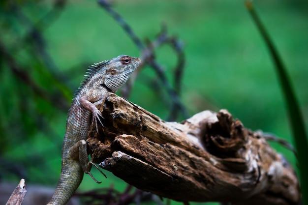 O jardim oriental lagarto jardim oriental ou sugador de sangue ou lagarto mutável descansando em um tronco