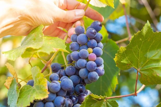 O jardineiro colhe uvas maduras e suculentas para vinho isabella da videira. colher no outono.