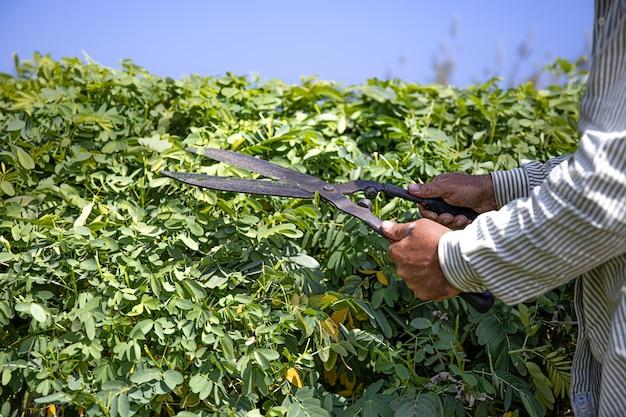 O jardineiro corta o arbusto com grandes tesouras de poda.