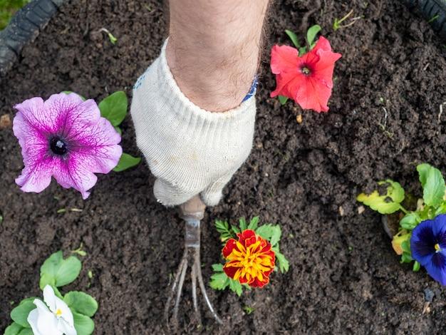 O jardineiro usa um chinelo para remover ervas daninhas ao redor das flores. jardinagem, hobbies. vista superior, configuração plana