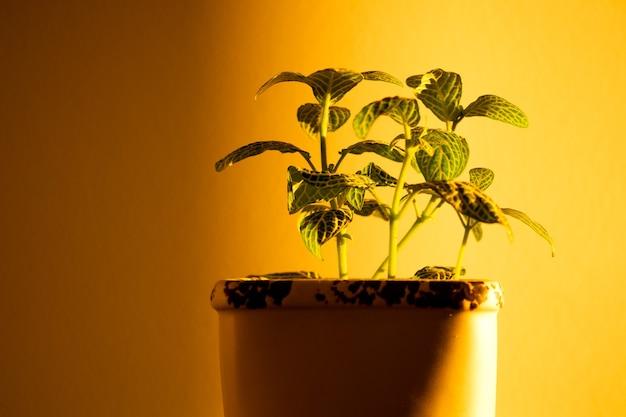 O jogo do sol do sol e da sombra das plantas da casa na parede amarela.