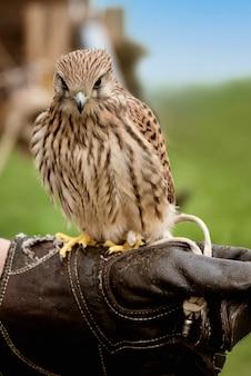 O jovem falcão treinando para falcoaria fica empoleirado na mão enluvada do treinador