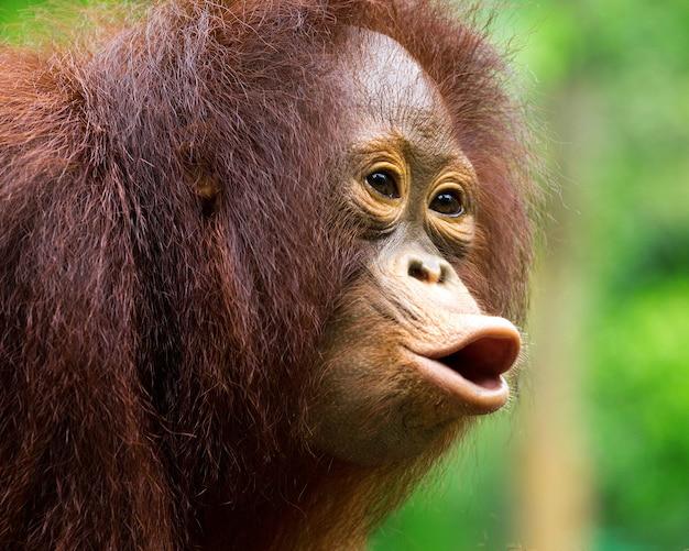 O jovem orangotango estava gritando na natureza selvagem.