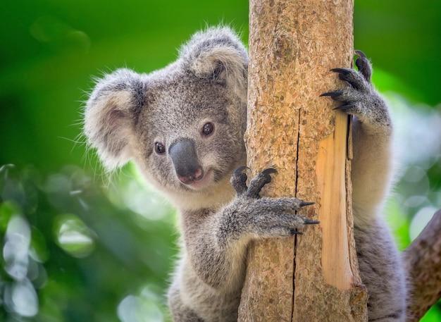O koala está na árvore.