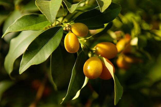O kumquat frutifica em um galho com folhas verdes.
