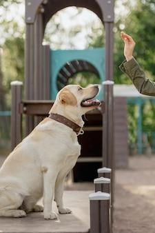 O labrador retriever fulvo está engajado no campo de treinamento do labrador retriever de estimação