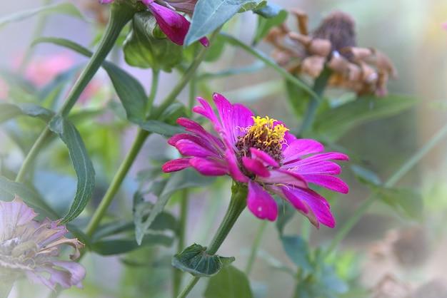 O lado do roxo comum zinnia (zinnia elegante) no jardim com espaço para colocar texto, lowkey
