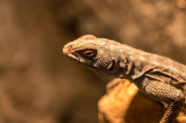 O lagarto de cabeça marrom é uma espécie de camaleão nativa da índia na ásia. lizarz deitado na parede da fronteira à procura de comida. olhar perigoso de lagartos.