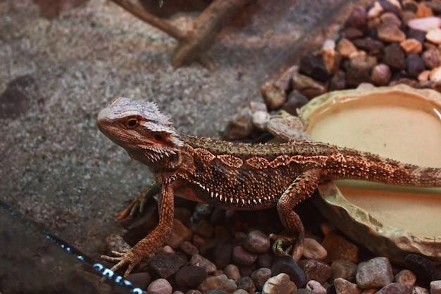 O lagarto está sentado nas rochas. um lagarto marrom senta-se em um terrário, toma banho de sol e observa.