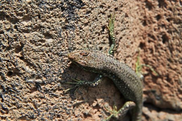 O lagarto nas montanhas do cáucaso, armênia