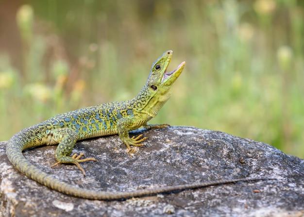 O lagarto ocelado ou lagarto de jóias