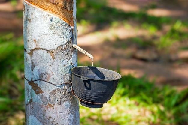 O látex de borracha flui da árvore para a tigela e a luz do sol da manhã